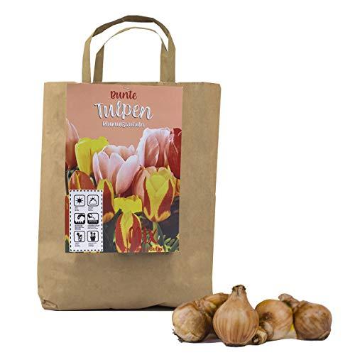 Colorido juego de 50 bulbos de tulipán en empaque de regalo - bombachos de primavera, tubérculos resistentes