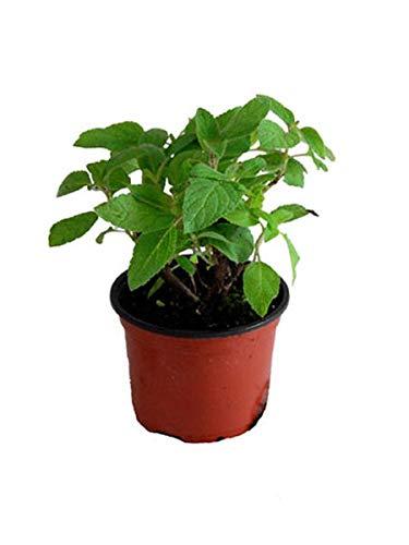 Ananas Salbei, frischer Salbei mit Ananasduft, Kräuter Pflanze