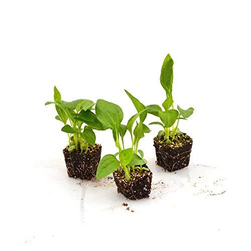 Zierpflanzen - Sonnenhut/Goldsturm - Rudbeckia fulgida - 3 Pflanzen im Wurzelballen