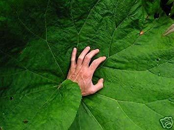 FERRY Keim Seeds: Gewöhnliche Pestwurz irren Huge Blätter Seeds