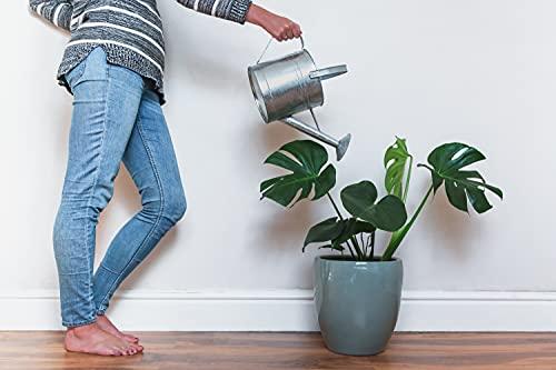 American Plant Exchange Split Leaf Philodendron Monstera Deliciosa Live Plant, 3 Gallon, Green