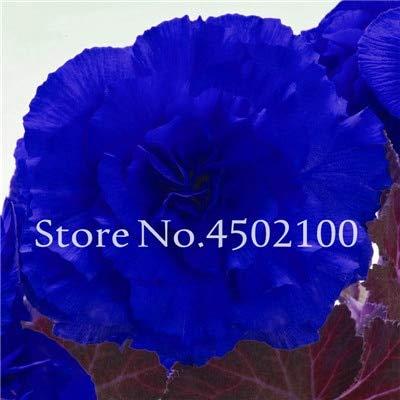 Generic Fresh 20 Stk. Rainbow Potted Rose Blumensamen zum Pflanzen von Blau