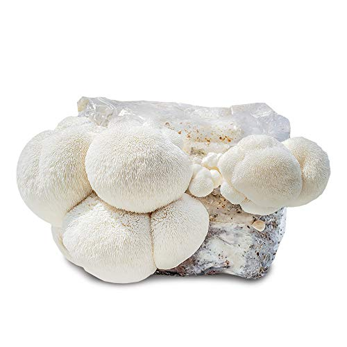 Grow Your Own Mushrooms Kit - Fully Colonized Lion's Mane Mushrooms - Indoor Grow Kit - Grow up to 4 Pounds