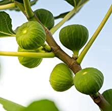 2.5 Inch Live Plant Fig Fruit Tree Green Ischia Plant Verte, Strawberry, Figue D'Espagne Couer - WSR1111