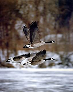 Best canadian geese decor Reviews