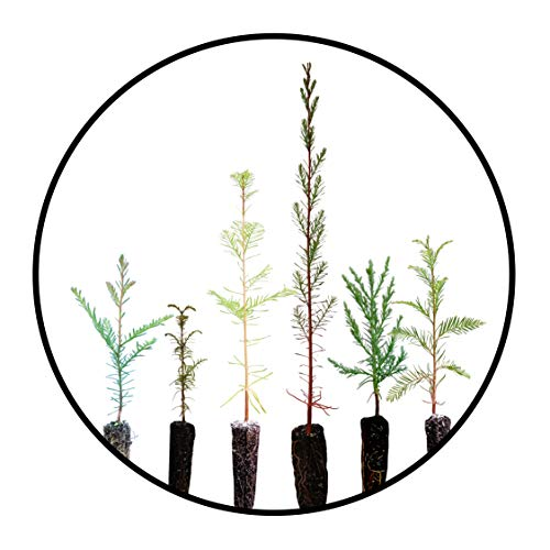 Redwoods of The World | Collection of 6 Live Tree Seedlings | The Jonsteen Company