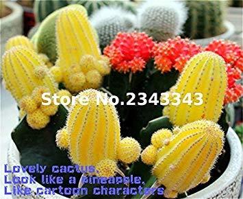 100 Pcs mixtes Cactus Graines Plantes d'intérieur Multifarious d'ornement semences rares plantes grasses fleurs Les graines peuvent purifient l'air Pour Jardin Blanc