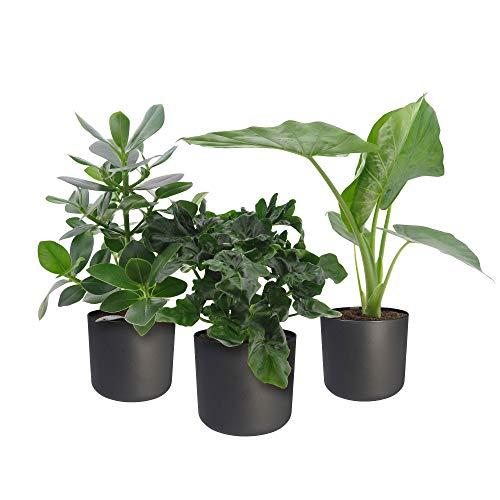 3x Indoor Zimmerpflanzen mit Töpfen | 3er Set Pflanzen fürs Büro | Balsamapfel, Philodendron, Elefantenohr | Höhe 55-70cm | Grau Topf ELHO Ø 18cm