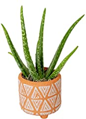 "Is this a gift? Please choose ""this is a gift"" At check out to add a personalized message The Aloe Vera plant is known for its cool Gel inside of its thick, toothed leaves Great addition to modern and contemporary decor; Perfect for desks, tabletops,..."