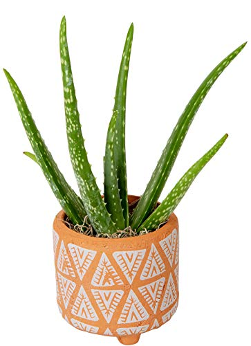 Costa Farms Aloe Vera Live Indoor Plant Ships in Modern Ceramic Planter, 10-Inch Tall, Excellent Gift or Home Décor