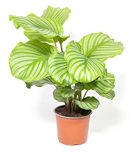 Calathea roseopicta Orbifolia, Korbmarante, Gebetspflanze, echte Zimmerpflanze im 14cm Topf, Höhe...