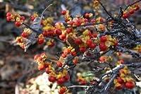 イワツルウメモドキ(両性花品種:1本で結実)