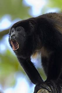Close-up of a Black Howler Monkey (Alouatta caraya), Costa Rica Poster Print by Panoramic Images (16 x 24)
