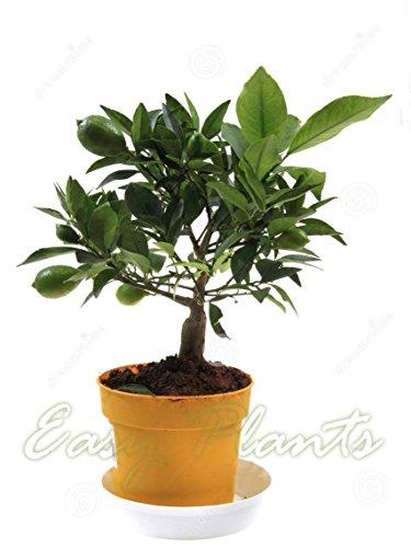 1 maceta para árbol de cítricos de limón – Planta de casa aromática – 35 – 40 cm de alto