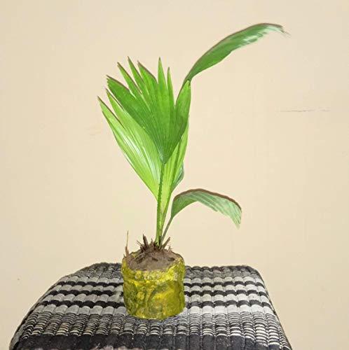 Mühlan Wasserpflanzen Moos Sortiment für Garnelen Aquarium, Riccia etc.