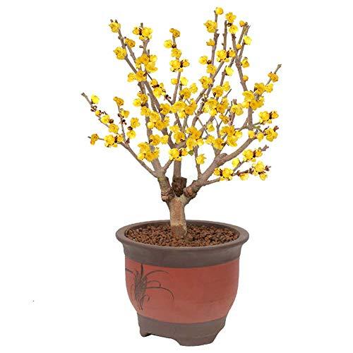 Winter Sweet Plants Seeds 5+ Bio-Chimonanthus Praecox Pflaumenblütensträucher Frische Premium-Blumensamen zum Pflanzen von Gartenhof im Freien