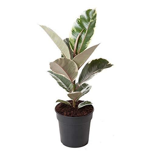 Weissbunter Gummibaum 40 cm Ficus elastica Tineke Zimmerpflanze