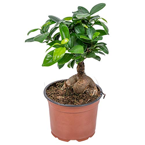 Bonsai Baum | Ficus 'Ginseng' - Zimmerpflanze im Aufzuchttopf ⌀12 cm - 35 cm