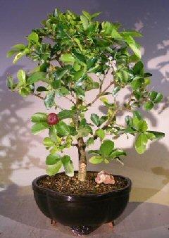 Bonsai Boy's Flowering Dwarf Weeping Barbados Cherry Bonsai Tree - Large malpighia Pendiculata