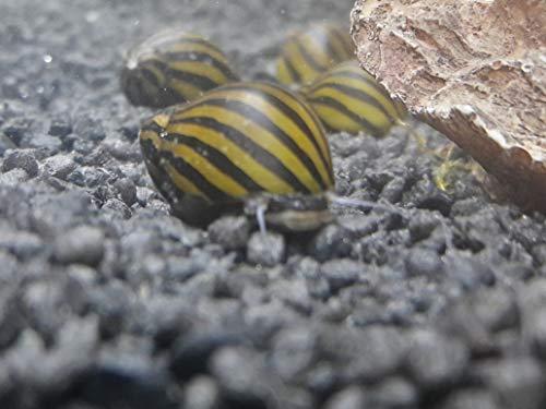 Topbilliger Tiere Zebra Rennschnecke Neritina turrita 5X