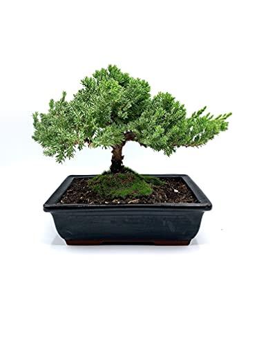 Live Dwarf Bonsai Tree 6'-8' Tall | 7-8 Years Old | Juniper or Jade Bonsai Tree |100% Handcrafted |...