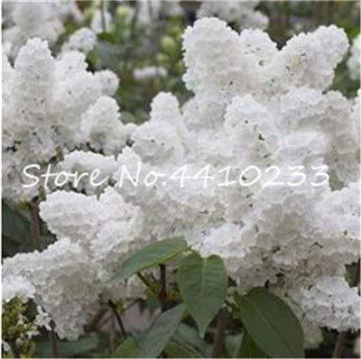 Bloom Green Co. 100 PC-Bonsais lila Flieder Bonsai, Japanische Flieder Nelke Blume sehr aromatisch im Freien Baum Pflanzen Schöne Lila Bonsais: b
