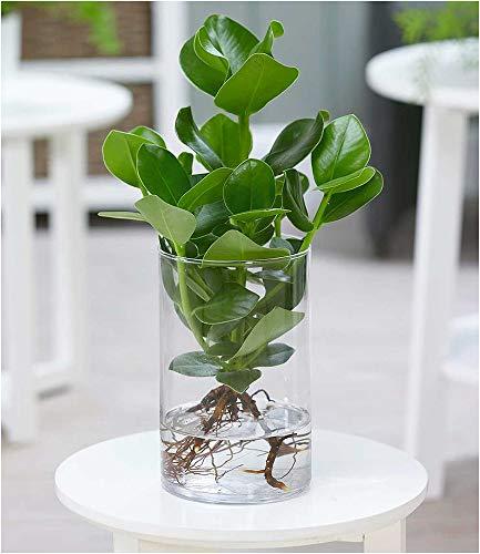 BALDUR-Garten Clusia mit Glasgefäß, 1 Pflanze Zimmerpflanze Balsamapfel Balsamfeige Zimmerpflanze