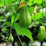 Shopvise delicioso chayote semillas de hortalizas 20Pcs