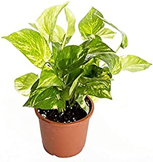 Universal Fountain Green Good Luck Money Plants For Home""