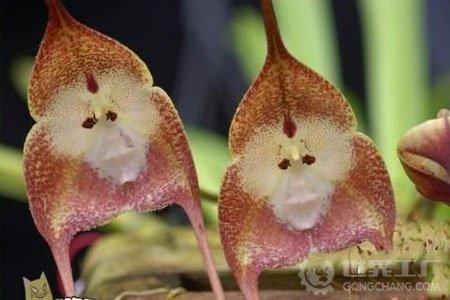 100 Piece Graines Potted Pérou Monkey Face Orchid, orchis singe principal Phalaenopsis Bonsai plantes Graines de fleurs, Plus cadeau Mysterious