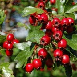 Dichondra 50Pcs Surprise price Singleseed Hawthorn OFFicial shop Crataegus Monogy Fruit Seeds