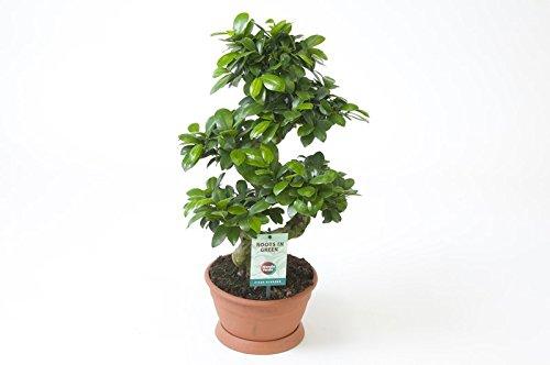 Ficus Ginseng, Ginseng Bonsai, (Ficus microcarpa), asiatischer Bonsai, verschiedene Größen (S-Form, im 20cm Topf, ca. 55cm hoch)