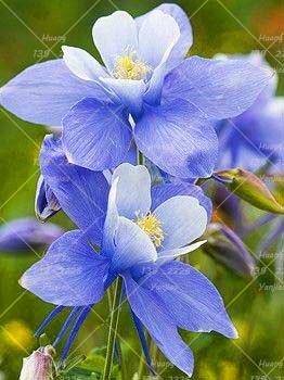 100PCS Double Aquilegia (Columbine) Graines rares Bonsai Graines de fleurs longue saison Bloom plantes vivaces pour jardin 2
