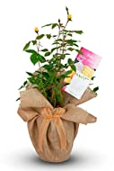 BRITISH GROWN ROSE - Fully Hardy For Our Climate Stunning Golden Wedding Rose Bush - Very Strong And Healthy Plants However May Not Be In Flower At The Time Of Purchase Gift wrapped in our stylish 'Golden Eyes' Style Gift Wrap inc Huge Golden Gift Bo...