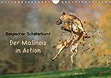 Belgischer Schäferhund - Der Malinois in Action (Wandkalender 2021 DIN A4 quer)
