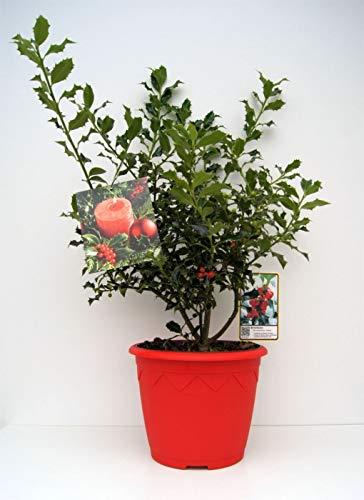 Ilex aquifolium Alaska - immergrüne Stechpalme Alaska - im 7,5 l Dekorationstopf mit Weihnachtsbildetikett Preis nach Stückzahl Einzelpreis