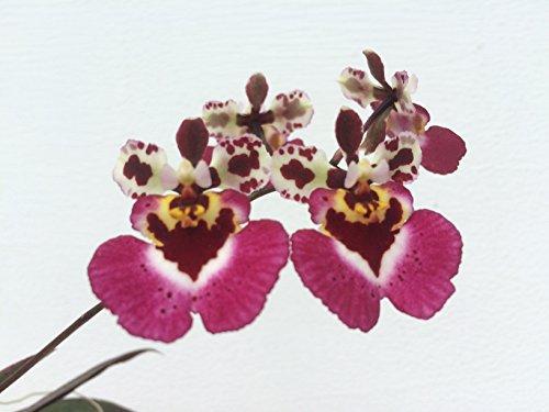 1 blühfähige Orchidee der Sorte: Tolumnia variegatum = Oncidium variegatum, traumhafte Orchidee vom deutschen Züchter