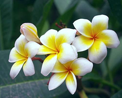 Seltene Plumeria Frangipani Blumensamen 50Pcs, Tropische Pflanze Zitronenduft Pflanzen Zierblumen Gartenpflanzen Dicke Sukkulente Triebe Rubra Saatgut für Garten, Balkon
