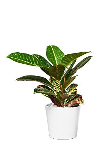 EVRGREEN | Zimmerpflanze Wunderstrauch in Hydrokultur mit weißem Topf als Set | Kroton | Croton variegatum \'Petra\'