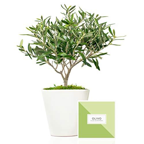 Árbol olivo natural 38 cm en maceta de 16 cm diámetro entregado en caja de regalo con tríptico con información y guía de cuidados – Planta exterior – Olea Europaea