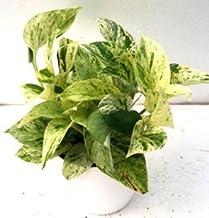 CAPPL Bushy Epipremum Aureum Marble Queen Yellow Green Color Plant (Pot Included) with Fertilizer & Plate Free