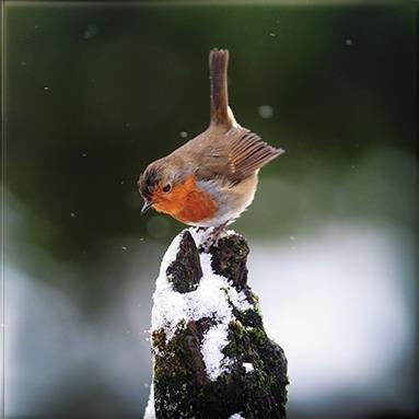 Kerstkaarten (PH2008) - Winter Robin - Portemonnee van 10 Kaarten - 2 Ontwerpen