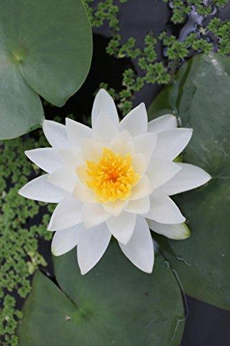 Seerose im Pflanzkorb - Nymphaea (Pöstlingberg) Gladstoniana, weiß - Wasserpflanzen Wolff