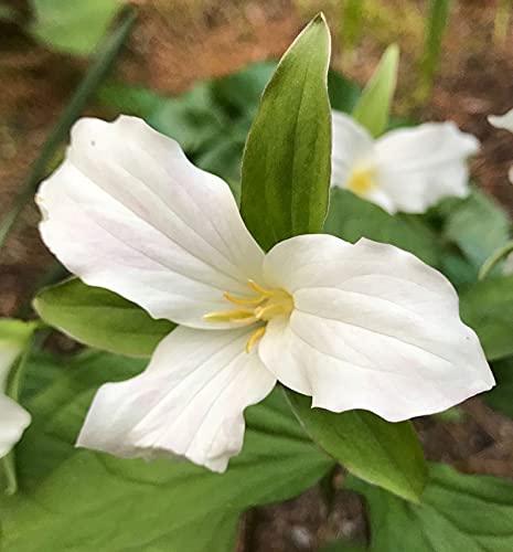 Trillium Trillium S.eeds for P.lanting - Trillium Undulatum Painted Trillium 10 S.eeds