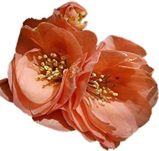 Cameo Japanese Flowering Quince - 2 1/2