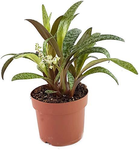 Scilla violacea - wundervolle Zwiebelpflanze aus Südafrika für das sonnige bis halbschattige Fensterbrett - Ledebouria socialis - pflegeleichte Zimmerpflanze