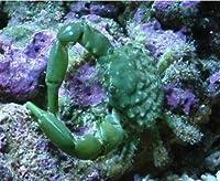 【海水魚・カニ】 エメラルドグリーンクラブ ■サイズ:2cm± (2匹)
