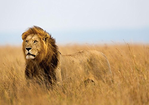 FORWALL VLIESFOTOTAPETE Fototapete Tapete Wandbild Vlies | Welt-der-Träume| Löwe | V8 (368cm. x 254cm.) | Photo Wallpaper Mural 11750V8-AW | Löwe Tier Natur Afrika Katze fototapete tapete