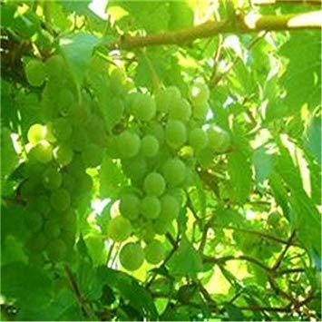 Vistaric 50 / Beutel Traubenkernöl Bonsai-Frucht schwarze Traubenkernkultur Zwerg-Traubenbaum einfach wachsen japanische Zwergfrucht für Hausgartenpflanzung