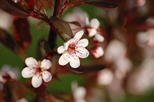 Zwerg-Blutpflaume Prunus cistena Pflanze 15-20cm Blutpflaume Zwergblutpflaume